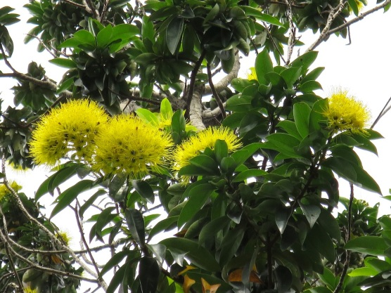 Xanthostemon chrysanthus 'Golden Penda'