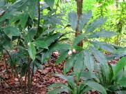 Zingiberaceae (1)