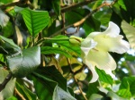 Beaumontia jerdoniana (Nepal Trumpet Flower)