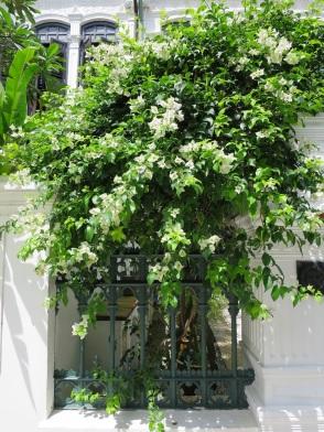 Bougainvillea 'Singapore White'