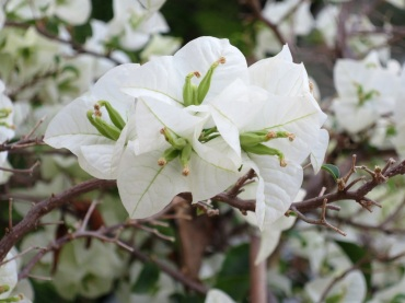 Bougainvillea 'Singapore White'