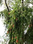 Callistemon citrinus (Crimson Bottlebrush)