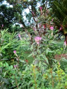 Celosia argentea 'Flamingo Feathers'