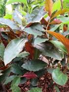Costaceae varzearum