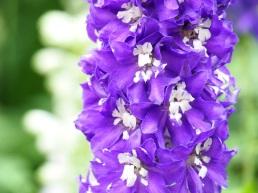 Delphinium (Larkspur, Purple)