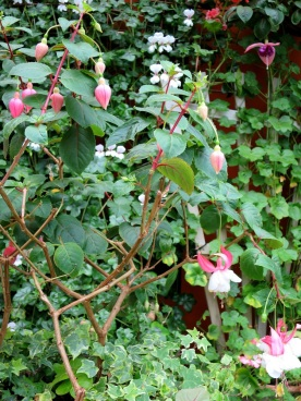 Fuchsia hybrida 'Lady Thumb'
