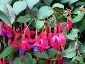 Fuchsia 'Fuchsia Magellanica'