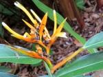 Heliconia longiflora