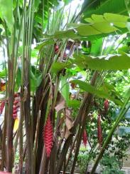 Heliconia mariae x H. pogonantha