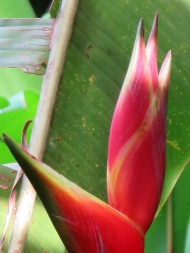 Heliconia stricta