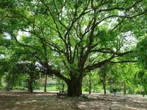 Lecythis sp. (Monkey Pot/Sapucaia-nut Tree)