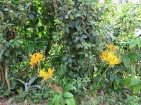 Lycoris aurea (Golden Spider Lily)
