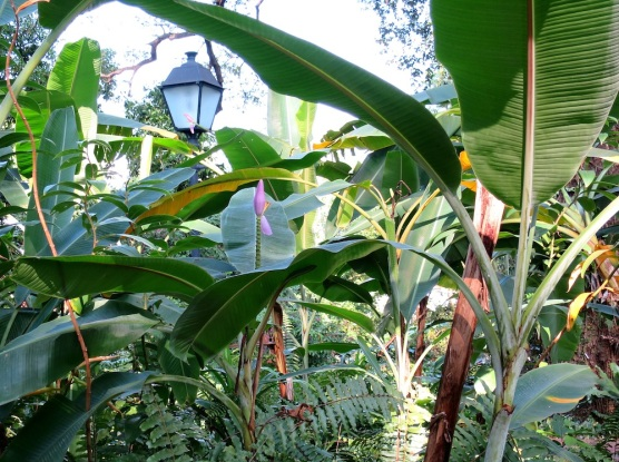 Musa ornata 'Flowering Banana'