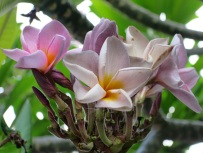 Plumeria rubra (Purple Yellow)