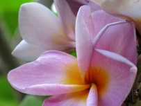 Plumeria rubra (Purple Yellow)