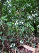 Mussaenda purvifora
