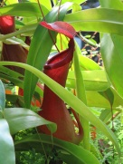 Nepenthes mirabilis (Pitcher Plant)