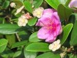 Rhodomyrtus tomentosa 'Rose Myrtle'