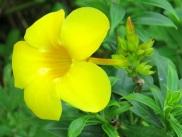 Allamanda oenotheraefolia (Bush Allamanda)