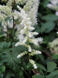 Astilbe 'False Spirea' (White)