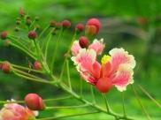 Caesalpinia pulcherrima var. Rosea