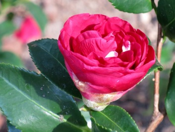 Camellia sasanqua 'Nagasaki'