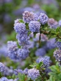 Ceanothus (Wild Lilac)