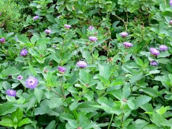 Centratherum punctatum 'Brazil Button Flower'