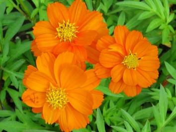 Cosmos sulphureus var. exaristatus (Orange Cosmos)