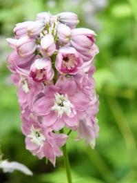 Delphinium (Larkspur, Pink)