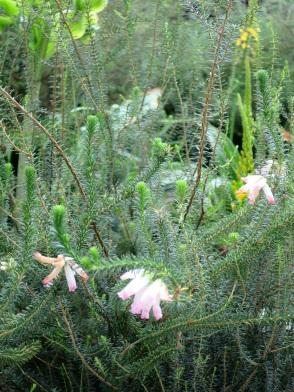 Erica verticillata (Cape Flats Erica)