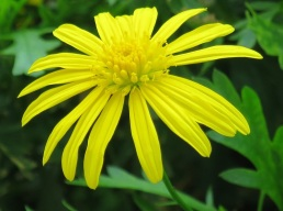 Euryops pectinatus (Golden Daisy Bush)
