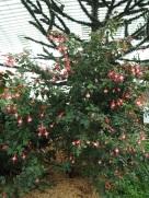 Fuchsia 'Swingtime'
