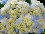Hydrangea macrophylla (Pastel Blue and Yellow)