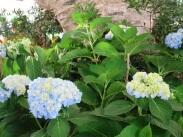 Hydrangea macrophylla (Pastel Blue and Yellow)