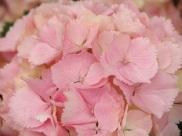 Hydrangea macrophylla (Pink)