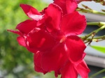 Nerium oleander 'Little Red'