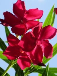 Nerium oleander 'Little Red'