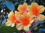 Rhododendron 'Vireya'