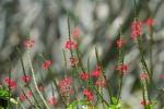 Stachytarpheta indica (Red)