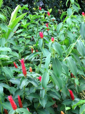 Costus woodsonii (Red Button Ginger)
