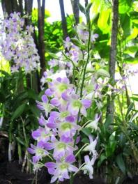 Dendrobium 'Lucian Pink'