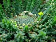 Euphorbia woodii 'Octopus Euphorbia'