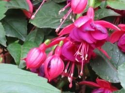 Fuchsia hybrida 'Brinco de Princesa'
