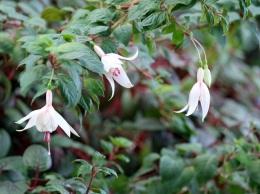 Fuchsia hybrida (Pink flushed white)