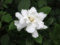 Gardenia jasminoides ellis