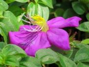 Heterotis rotundifolia