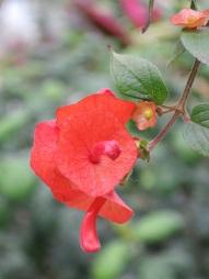 Holmskioldia sanguinea (Parasol flower)