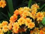 Hydrangea macrophylla 'Double Delights' (Orange)