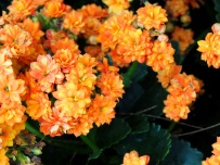 Hydrangea macrophylla 'Double Delights' (Orange)